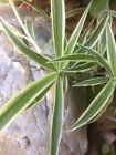 Fresh Organic Baby Spider Plant Cuttings from the mother plant - LIVE PLANT BABY