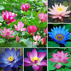 Lots 10X Bonsai Lotus Water Lily Flower Bowl Pond Fresh Seeds Perfume Blue Lotus