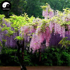 Buy Wisteria Tree Seeds 30pcs Plant Vine Tree Wisteria Sinensis For Pink Flower