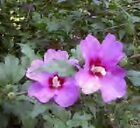 Althea - Rose of Sharon Shrub Blooming Size