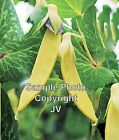 Yellow Pod Pea Seeds Certified organic Tender Sweet Loves cool weather Shelling