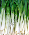 Evergreen Bunching Onion Seeds Tasty pearl-white Delicate Onion Flavor Non GMO