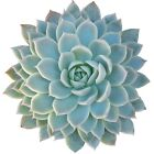 Echeveria Violet Queen Hens and Chicks Succulent (2'' or 4'' or 6'')