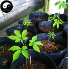 Buy Real Panax Ginseng Seeds 50pcs Plant Tonic Herb White Ginseng For Ren Shen