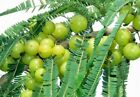 Phyllanthus Emblica Tree 15-500 Seeds, Indian Gooseberry, Edible Amla Fruit