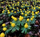 Winter Aconites Eranthus Hyemalis Corms - Plant With Single Snowdrop Bulbs
