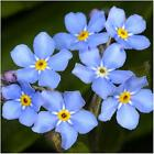 Forget me not. Flowering seeds