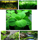 Kyпить Small Water Lettuce bonus water spangles, Live Floating Aquarium/Aquatic Plants  на еВаy.соm