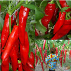 "20 Giant Red New Spices Spicy Chili Pepper Seeds Plants Up To 50cm 20"" Long"