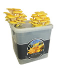 Nutley's Fresh Grow Your Own Merryhill Yellow Oyster Mushroom Kit ready growing