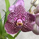 Orchid - Vanda/Ascocenda - Exotic Blue Spotted...........Stock #17-2