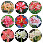 Colorful 2Pcs Charm Hippeastrum Flower Seeds Amaryllis Bulbs Garden Bonsai Plant