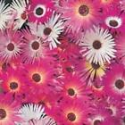 MESEMBRYANTHEMUM ALL COLOURS YOU PICK MULTIPLE,BEDDING PLANTS SEEDs