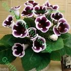 1 OR 3 GLOXINIA KAISER WILHELM TUBEROUS BULBS/CORMS PURPLE/WHITE SUMMER INDOORS