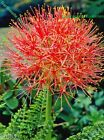 1 OR 3 SCADOXUS MULTIFLORUS(FIREBALL LILY)BULBS RED STARRY SUMMER PERENNIAL RARE