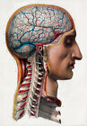 ML02 Vintage 1800's Medical Surgical Human Brain Head Poster Re-Print A2/A3