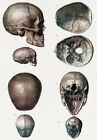 ML12 Vintage 1800's Medical Human Adult Infant Child Skull Poster RePrint A2/A3