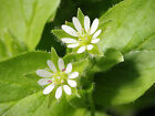 earthsgarden CHICKWEED OIL 100% PURE NATURAL ORGANIC BASE CARRIER OIL