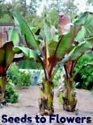 BANANA - MUSA ENSETE - TROPICAL EXOTIC PLANT SEEDS - 2 5 11 23 SEED PACKET