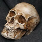Resin Replica Life Human Skull Model Medical Anatomy Halloween Collectable #-p
