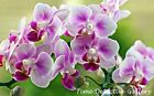 Orchids (4) - Poster in 3 Sizes
