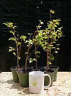 Bonsai, Trident Maple, Acer buergerianum, 5 Starter Trees, No Reserve Auction!