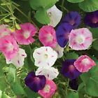 Tall MORNING GLORY mix IPOMOEA climber 1 or 2 pound seeds