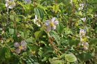 Tibouchina paratropica (Sent In 9cm Pot) 20% off 2 or more. See Promotions Box.