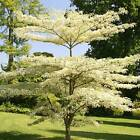 GIANT DOGWOOD, cornus controversa variegata 10, 50, 250 or 1000 seeds