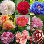 New Nice Adorable Flower Fragrant Seeds Fragrant Blooms Peony Seeds DZ88 04
