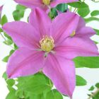 Clematis Sally Hardy Shrub 15cm/3L Potted Garden Plants T&M