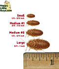Dubia Roaches Small to Large, 10% Bonus, Live Feeder, Cricket Alt