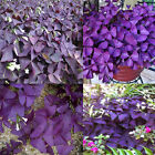 10x/bag Easy Grow Triangularis Seeds Shamrock-Oxalis Bulbs Perennial Leaf Flower