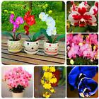 New Nice Adorable Flower Seeds Fragrant Blooms Orchid Seeds N98B