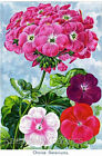 Geraniums 1897 Seed Pack Cotton Quilt Block Multi Sizes FrEE ShiP WoRld WiDE