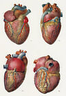 ML16 Vintage 1800's Medical Human Heart Surgical Poster Re-Print A2/A3