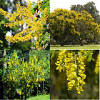 GOLDEN RAIN or GOLDEN CHAIN TREE 10, 50, 100, 500, 1000 seeds choice listing