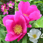 3 different ROSE varieties ROSA 10, 50, 100, 500, 1000 seeds, choice listing