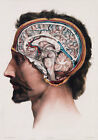 ML09 Vintage 1800's Medical Human Brain Surgical Anatomy Poster RePrint A2/A3/A4