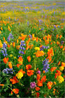 "Poster / Leinwandbild ""High angle view of lupines and poppies on..."" - Purestock"