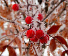 Poster / Leinwandbild Winter Berries - Olga Osi