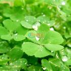 Garden Fresh Green Ivy/Mimosa Pudica/Seeds Planted Flower Plants