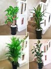 1 Large Evergreen Office House Plant Indoor Tree in Gloss Black Tubus Slim Pot