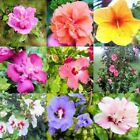 WHOLESALE BULK HIBISCUS SYRIACUS ROSE OF SHARON mix 50, 500, 2000 seeds