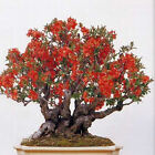 BULK WHOLESALE FLOWERING QUINCE BONSAI 50, 500, 5000 seeds