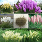 20Pcs/bag Garden Pampas Grass Ornamental Plant Cattail Reed Perennial Home Rare