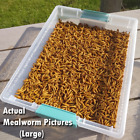 Live Mealworms - FREE Shipping! Bulk, Grown Organic in Florida (250-3000) - M, L