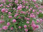 RED CLOVER (ORGANIC) Seeds Sprouting Microgreens Cover Crop FREE SHIPPING