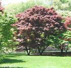 RED JAPANESE  MAPLE TREE FOR LANDSCAPE OR BONSAI
