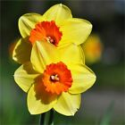DAFFODIL HOOPOE SWEETNESS NARCISSUS GARDEN BULBS AUTUMN GARDENING SPRING FLOWER